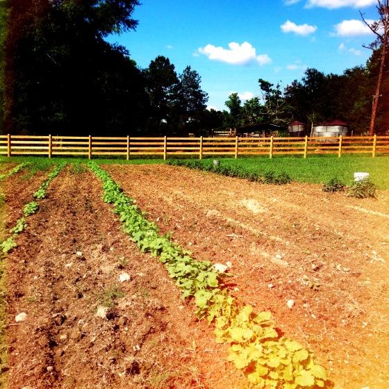 Kale harvest at the farm
